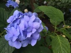 【嫌な時期でも好きになる!】頼光寺で紫陽花を楽しもう!!